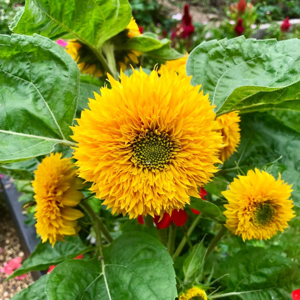Yellow flower brentford Dock gimme veg